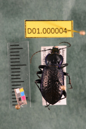(Carabidae D01morph_A - D01.000004)  @12 [ ] Copyright (2013) Cory Ritz National Ecological Observatory Network (NEON) http://www.neoninc.org/content/copyright