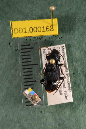 (Carabidae D01morph_B - D01.000168)  @14 [ ] Copyright (2013) Cory Ritz National Ecological Observatory Network (NEON) http://www.neoninc.org/content/copyright