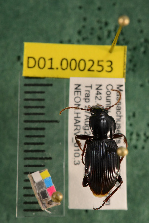 (Carabidae D01morph_B - D01.000253)  @14 [ ] Copyright (2013) Cory Ritz National Ecological Observatory Network (NEON) http://www.neoninc.org/content/copyright
