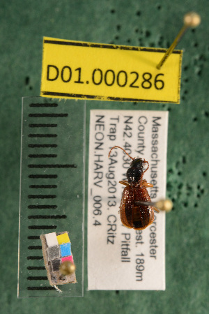 (Carabidae D01morph_C - D01.000286)  @12 [ ] Copyright (2013) Cory Ritz National Ecological Observatory Network (NEON) http://www.neoninc.org/content/copyright