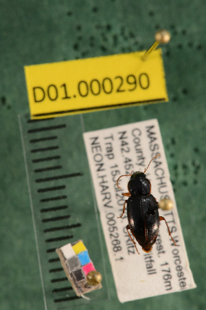 (Carabidae D01morph_F - D01.000290)  @12 [ ] Copyright (2013) Cory Ritz National Ecological Observatory Network (NEON) http://www.neoninc.org/content/copyright