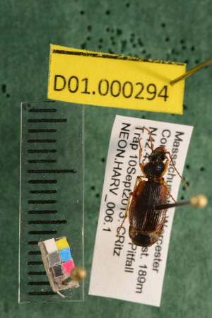 (Carabidae D01morph_D - D01.000294)  @12 [ ] Copyright (2013) Cory Ritz National Ecological Observatory Network (NEON) http://www.neoninc.org/content/copyright