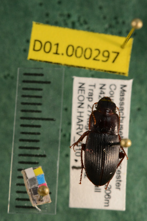 (Carabidae D01morph_E - D01.000297)  @12 [ ] Copyright (2013) Cory Ritz National Ecological Observatory Network (NEON) http://www.neoninc.org/content/copyright