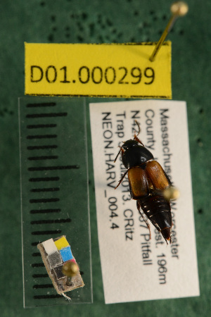 (Carabidae D01morph_G - D01.000299)  @11 [ ] Copyright (2013) Cory Ritz National Ecological Observatory Network (NEON) http://www.neoninc.org/content/copyright