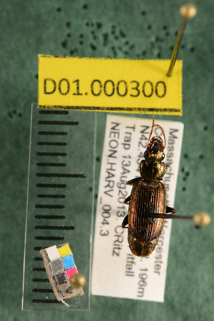 (Carabidae D01morph_H - D01.000300)  @12 [ ] Copyright (2013) Cory Ritz National Ecological Observatory Network (NEON) http://www.neoninc.org/content/copyright