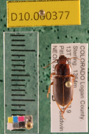 (Carabidae D10morph_S - D10.000377)  @14 [ ] Copyright (2010) National Ecological Observatory Network, Inc. National Ecological Observatory Network (NEON) http://www.neoninc.org/content/copyright