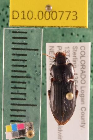 (Carabidae D10morph_U - D10.000773)  @11 [ ] Copyright (2010) National Ecological Observatory Network, Inc. National Ecological Observatory Network (NEON) http://www.neoninc.org/content/copyright