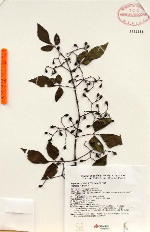 (Cissus microcarpa - Torres1152)  @11 [ ] Copyright (2012) Martin Ricker Universidad Nacional Autonoma de Mexico, Instituto de Biologia