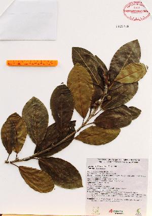 (Ficus aurea - Gomez1029)  @11 [ ] Copyright (2012) Martin Ricker Universidad Nacional Autonoma de Mexico, Instituto de Biologia