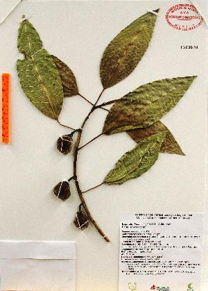 (Ficus insipida - Gomez1043)  @11 [ ] Copyright (2012) Martin Ricker Universidad Nacional Autonoma de Mexico, Instituto de Biologia