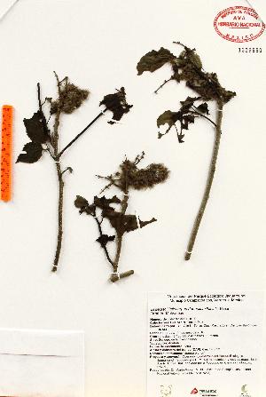 (Heliocarpus - Torres1020)  @11 [ ] Copyright (2012) Martin Ricker Universidad Nacional Autonoma de Mexico, Instituto de Biologia
