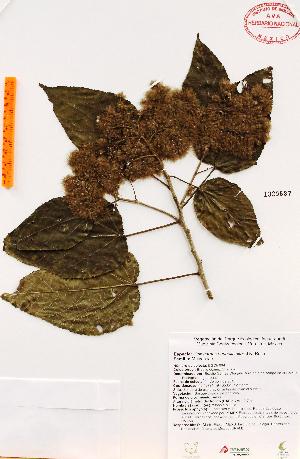 (Heliocarpus - Gomez964)  @11 [ ] Copyright (2012) Martin Ricker Universidad Nacional Autonoma de Mexico, Instituto de Biologia