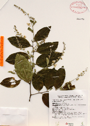 (Securidaca diversifolia - Gomez970)  @11 [ ] Copyright (2012) Martin Ricker Universidad Nacional Autonoma de Mexico, Instituto de Biologia