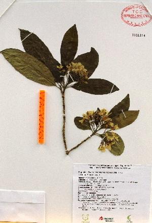 (Tabernaemontana arborea - Gomez990)  @11 [ ] Copyright (2012) Martin Ricker Universidad Nacional Autonoma de Mexico, Instituto de Biologia