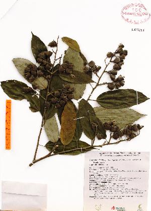 (Trichospermum - Gomez996)  @11 [ ] Copyright (2012) Martin Ricker Universidad Nacional Autonoma de Mexico, Instituto de Biologia