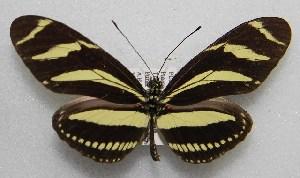 ( - WI-JAG-062)  @14 [ ] No Rights Reserved  Julio A Genaro Caribbean Natural History Group