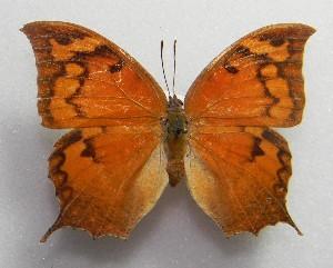 (Anaea - WI-JAG-105)  @14 [ ] No Rights Reserved  Julio A Genaro Caribbean Natural History Group