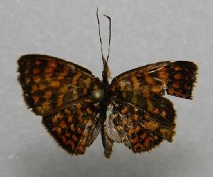 (Antillea - WI-JAG-176)  @13 [ ] No Rights Reserved  Julio A Genaro Caribbean Natural History Group