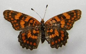 (Atlantea - WI-JAG-179)  @11 [ ] No Rights Reserved  Julio A Genaro Caribbean Natural History Group