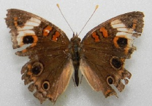 (Junonia cf. evarete - WI-JAG-223)  @11 [ ] No Rights Reserved  Julio A Genaro Caribbean Natural History Group