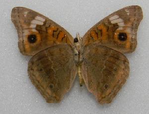 (Junonia sp - WI-JAG-236)  @12 [ ] No Rights Reserved  Julio A Genaro Caribbean Natural History Group
