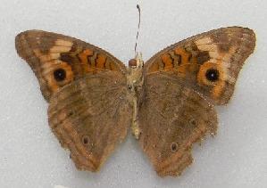 (Junonia sp - WI-JAG-238)  @12 [ ] No Rights Reserved  Julio A Genaro Caribbean Natural History Group