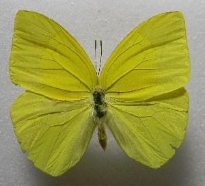 (Rhabdodryas - WI-JAG-373)  @15 [ ] No Rights Reserved  Julio A Genaro Caribbean Natural History Group