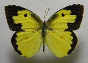 (Zerene - WI-JAG-428)  @16 [ ] No Rights Reserved  Julio A Genaro Caribbean Natural History Group