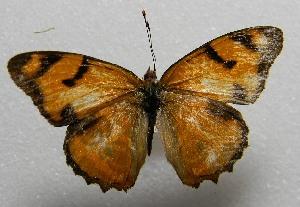 (Lucinia - WI-JAG-446)  @13 [ ] No Rights Reserved  Julio A Genaro Caribbean Natural History Group