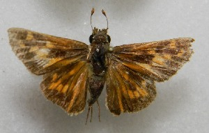 ( - WI-JAG-693)  @12 [ ] No Rights Reserved  Julio A Genaro Caribbean Natural History Group