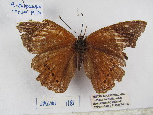 (Asterocampa - Wi-JAG-1181)  @15 [ ] No Rights Reserved (2015) Julio A Genaro Caribbean Natural History Group