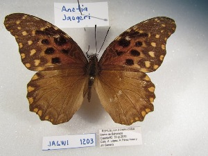 (Anetia jaegeri - Wi-JAG-1203)  @15 [ ] No Rights Reserved (2015) Julio A Genaro Caribbean Natural History Group