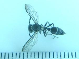 (Polybia bribri - JAT-934)  @13 [ ] Copyright (2010) G. Gil-Martinez Unspecified