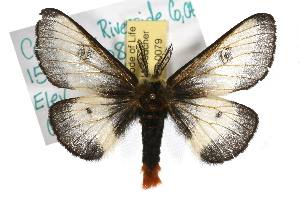 (Hemileuca nevadensis - JLB-0079)  @15 [ ] CreativeCommons - Attribution Non-Commercial Share-Alike (2009) CBG Photography Group Centre for Biodiversity Genomics