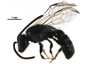 (Lasioglossum - BIOUG29884-G01)  @16 [ ] CreativeCommons - Attribution Non-Commercial Share-Alike (2016) CBG Photography Group Centre for Biodiversity Genomics