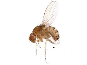 (Drosophila sticta - BIOUG30175-A02)  @14 [ ] CreativeCommons - Attribution Non-Commercial Share-Alike (2016) BIO Photography Group Biodiversity Institute of Ontario