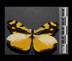 (Enantia ssp2MEX - MAL-05552)  @14 [ ] Copyright (2012) Unspecified Museo de Zoologia, Facultad de Ciencias, UNAM