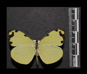 (Enantia ssp5MEX - MAL-05554)  @11 [ ] Copyright (2012) Unspecified Museo de Zoologia, Facultad de Ciencias, UNAM