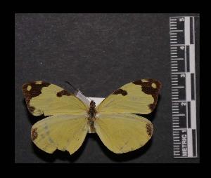 (Enantia ssp4MEX - MAL-05542)  @14 [ ] Copyright (2012) Unspecified Museo de Zoologia, Facultad de Ciencias, UNAM
