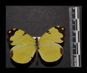 (Enantia mazai - MAL-05564)  @15 [ ] Copyright (2012) Unspecified Museo de Zoologia, Facultad de Ciencias, UNAM