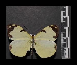 (Enantia jethys - MAL-05571)  @14 [ ] Copyright (2012) Unspecified Museo de Zoologia, Facultad de Ciencias, UNAM