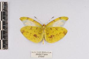 (Enantia mazai - JET-57)  @14 [ ] Copyright (2013) Unspecified Museo de Zoología, Facultad de Ciencias, UNAM