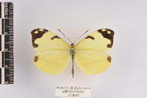(Enantia jethys - JET-43)  @14 [ ] Copyright (2013) Unspecified Museo de Zoología, Facultad de Ciencias, UNAM