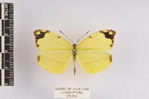 (Enantia mazai - JET-37)  @11 [ ] Copyright (2013) Unspecified Museo de Zoología, Facultad de Ciencias, UNAM