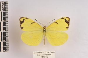 (Enantia albania - JET-73)  @15 [ ] Copyright (2013) Unspecified Museo de Zoología, Facultad de Ciencias, UNAM