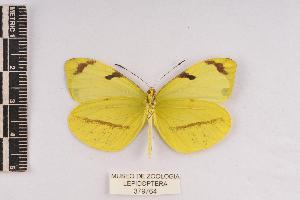(Enantia sp - JET-92)  @11 [ ] Copyright (2013) Unspecified Museo de Zoología, Facultad de Ciencias, UNAM