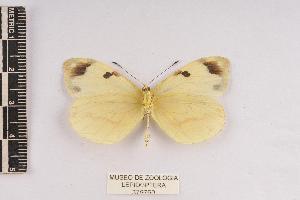 (Enantia jethys - JET-88)  @14 [ ] Copyright (2013) Unspecified Museo de Zoología, Facultad de Ciencias, UNAM