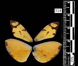 (Enantia ssp1MEX - MAL-05535)  @11 [ ] Copyright (2012) Unspecified Museo de Zoologia, Facultad de Ciencias, UNAM