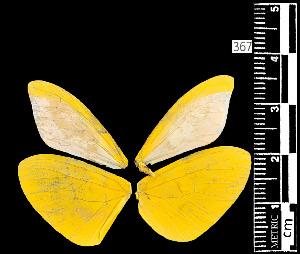 (Enantia sp - MAL-05538)  @12 [ ] Copyright (2012) Unspecified Museo de Zoologia, Facultad de Ciencias, UNAM