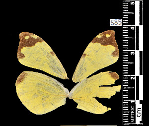 (Enantia ssp1MEX - MAL-05540)  @11 [ ] Copyright (2012) Unspecified Museo de Zoologia, Facultad de Ciencias, UNAM